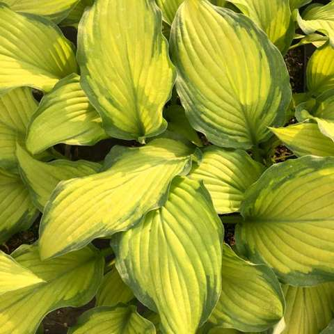 Hosta Prairie's Edge, yellow green corrugated leaves, darker green on the edges