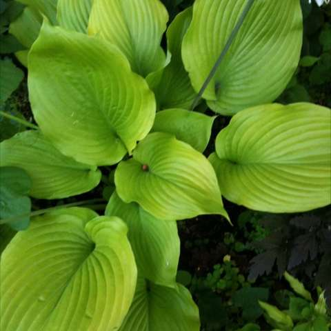 Hosta 'Sum and Substance', huge lime-green leaves