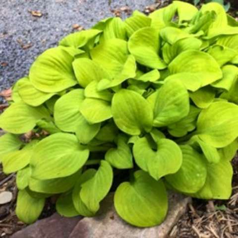 Hosta Sun Mouse, bright yellow-green leaves