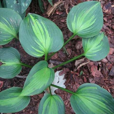 Hosta 'Touch of Class', dark green leaves with lighter green centers