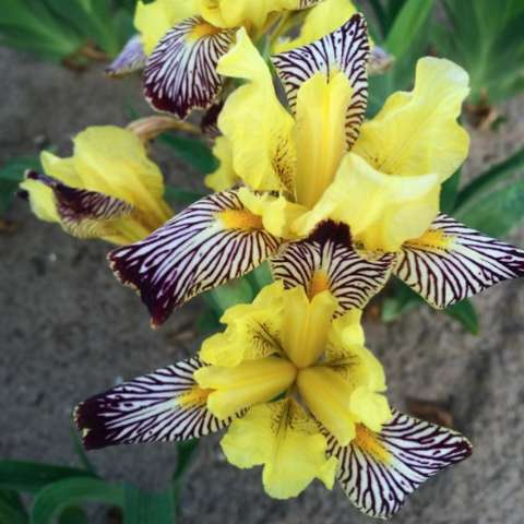 Iris Censation Golden Zebra, yellow guard petals, zebra-striped lower petals