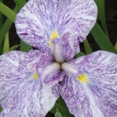 Imperial Magic japanese iris, purple and white striated