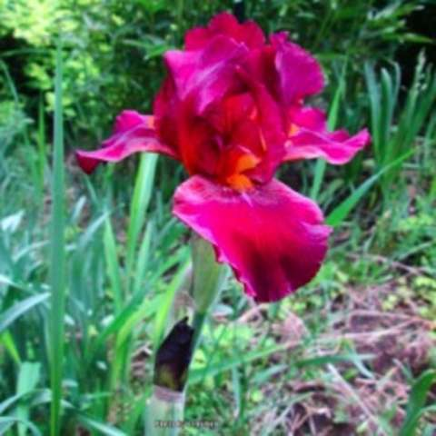 Iris germanica Red Zinger, red to violet bearded iris