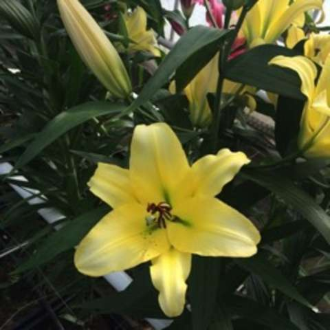 Lilium Zabo, yellow, darker toward the eye, lighter toward the petal tips