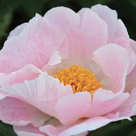 Paeonia Chiffon Clouds, light baby pink cupped petals, gold center