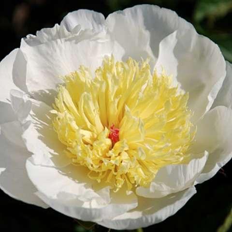 Paeonia Dairy Anne, white single with large light yellow confetti center