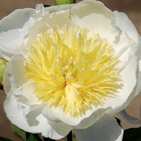 Paeonia Ivory Treasure, white single with large yellow frilly center