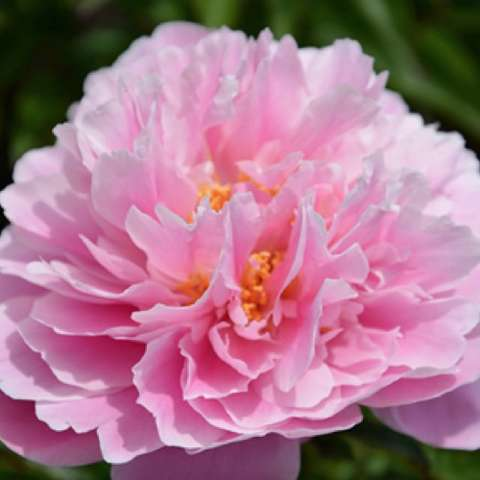 Paeonia Ma Petite Cherie, very double pink