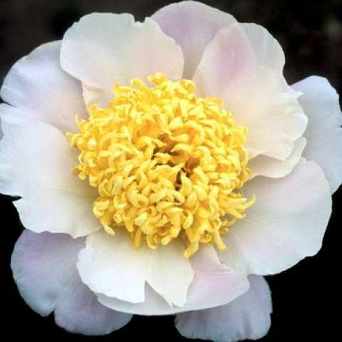 Paeonia Pink Cutie, very light pink single with large yellow frilly center