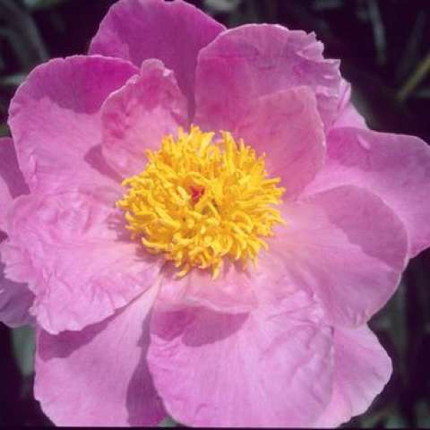 Paeonia Sea Shell, bubblegum pink petals, bright gold small center