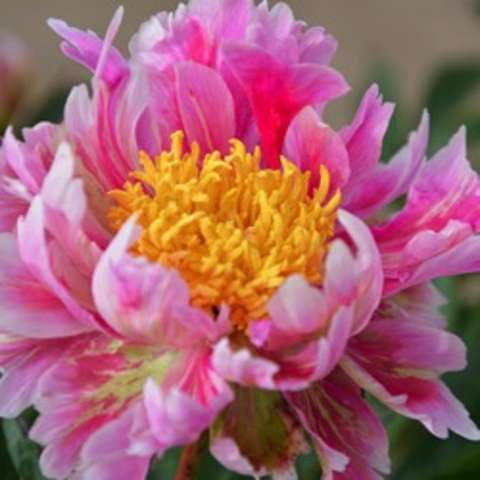 Paeonia Sweet Marjorie, raggedy petals in pink and white, large gold bomb center