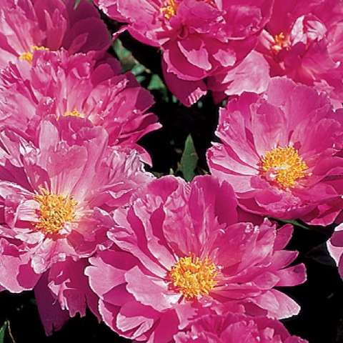 Paeonia Waltz, strong pink flat-faced, small gold center