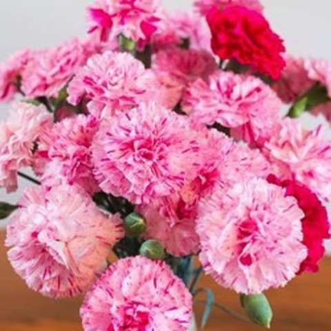 Dianthus Pinball Wizard, double pink pinks!