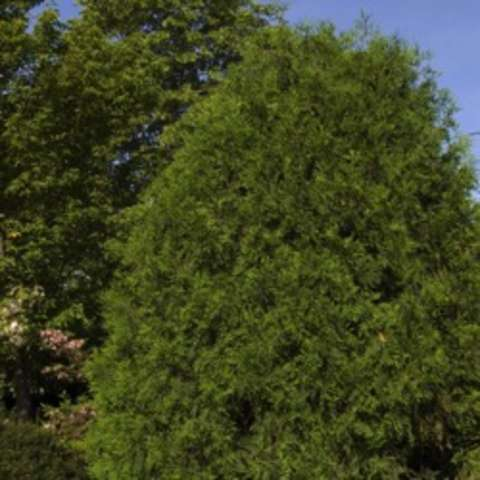 Techny arborvitae, pyramidal shaped evergreen