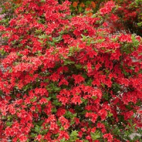 Azalea Electric Lights Red, shrub covered in red flowers