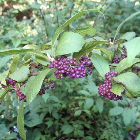 Calycarpa japonica, purple clustered berrries, very shiny