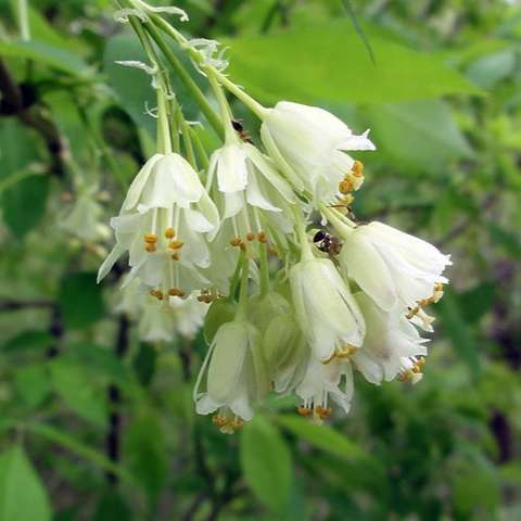 Staphylea trifolia flowers, white bells in clusters, down-hanging