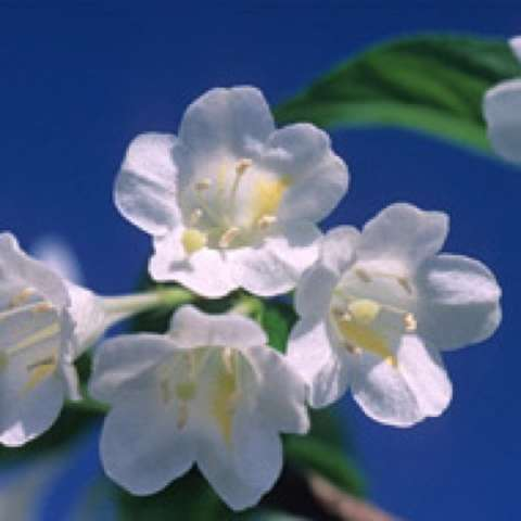 Weigela April Snow, tubular single white flowers in a cluster
