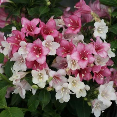 Weigela Czechmark Trilogy, flowers in white and shades of pink