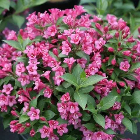 Weigela Snippet Dark Pink, medium pink flowers all over the shrub