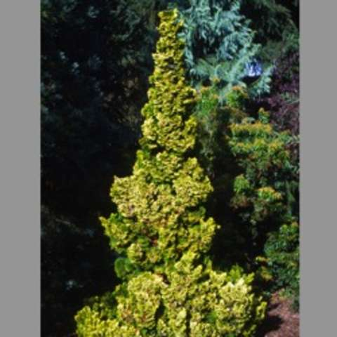 Chamaecyparis Nana Lutea, yellow green very upright pointed evergreen