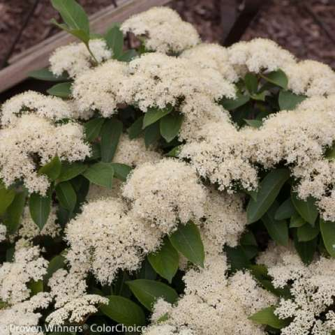 Viburnum Lil Ditty, white fuzzy clusters of flowers