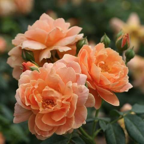 Rosa At Last, apricot doubles, clustered together