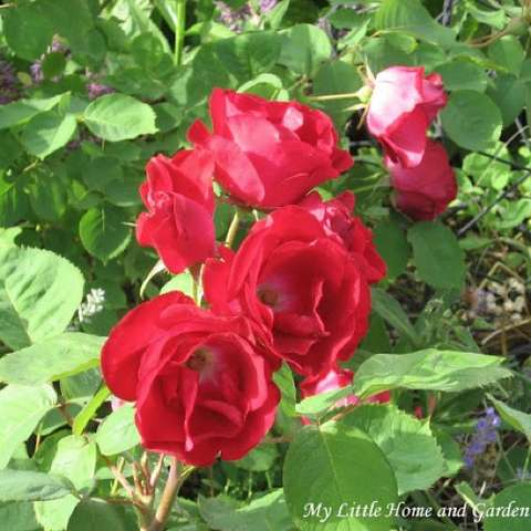 Emily Carr rose, dark red doubles