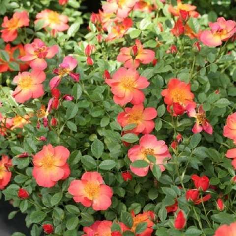 Rosa Oso Easy Hot Paprika, orange to coral single roses, large flowers