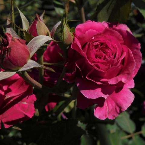 Rosa Polonaise, dark pink to red double