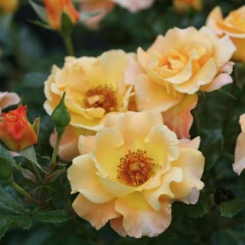 Rosa Sunsay, butter yellow to peach semidouble, gold center