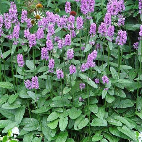 Stachys Hummelo, sugar pink flowers over green interesting foliage