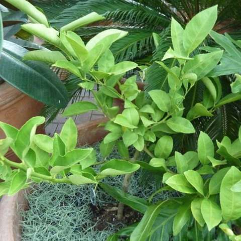 Palestine Sweet Lime, green leaves small tree