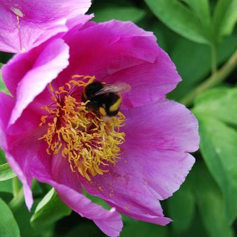 Paeonia mascula, pink single with large petals, gold center