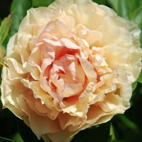 Paeonia Canary Brilliants, apricot very double flower