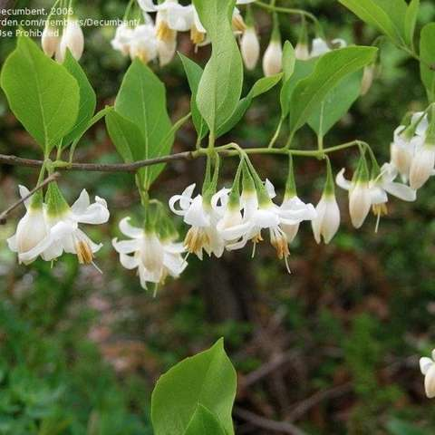Styrax Kankakee Form, white flowers dangling from stems