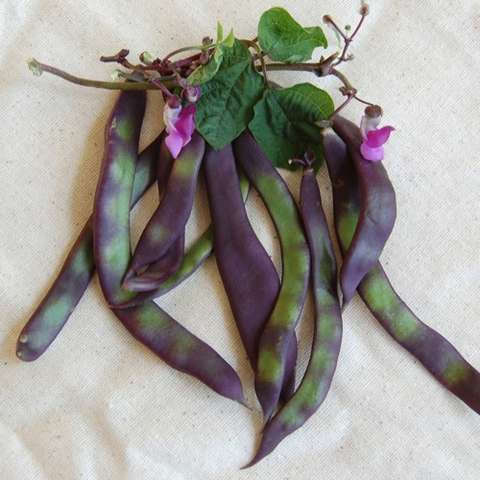 Auntie Wilder beans, green and purple bean pods