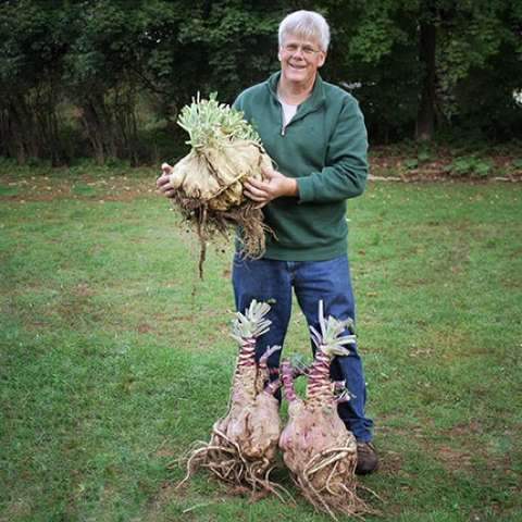 Naone Gialle cabbage turnip, huge roots