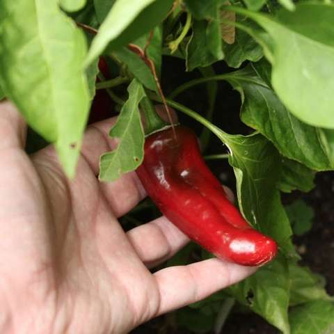 Anaheim pepper, Numex Joe Parker, long red and shiny