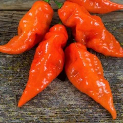 Habanada pepper, orange pointed shiny wrinkly peppers