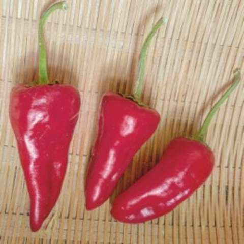 Haskorea pepper, short shiny red peppers