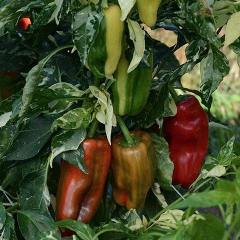 Capsicum Candy Cane Red, dark red medium long peppers