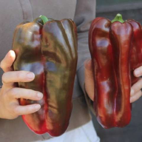 Spanish Mammoth peppers, dark red to bronzy brown, huge