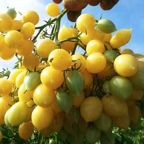 Barry's Crazy Cherry, clusters of bright yellow tomatoes