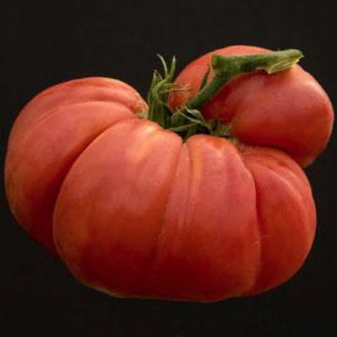 Big Zac tomato, huge red with ridges