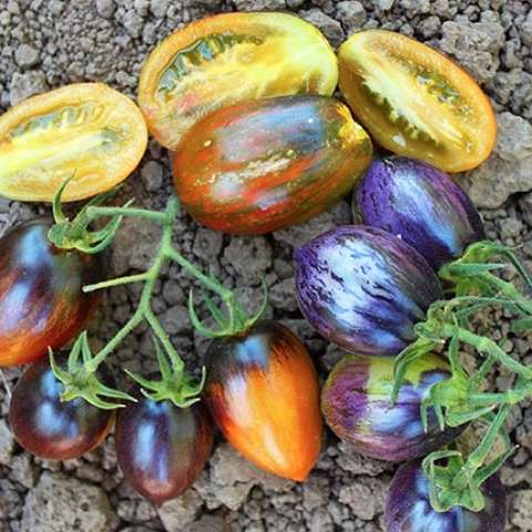 Brad's Atomic Grape tomato, red, purple, yellow on multiple fruits
