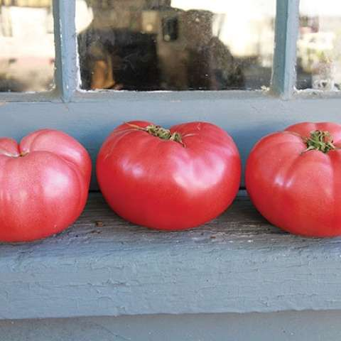 German Pink tomato, almost red, huge