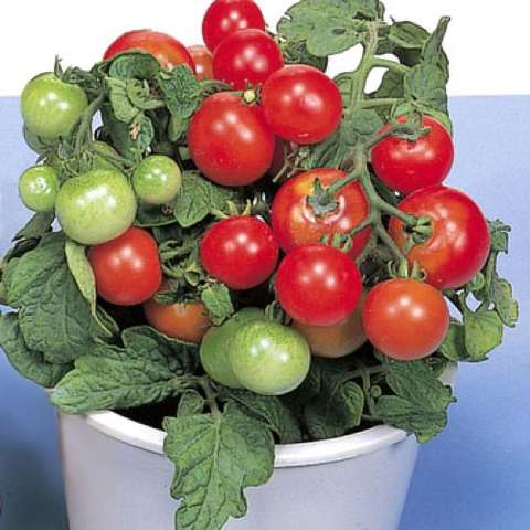 Red Robin tomatoes, red cherries in clusters