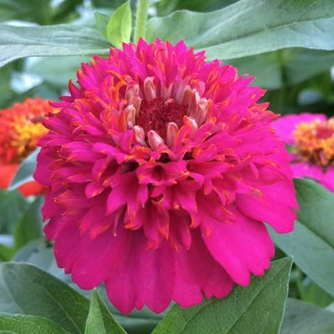 Zinnia Cupcakes Rose, hot pink double with crazy center