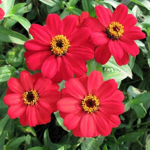 Zinnia Profusion Red, single red cartoon flowers with dark and yellow eyes